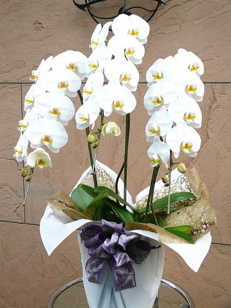 胡蝶蘭3本立御供ラッピング。松庄花壇制作。