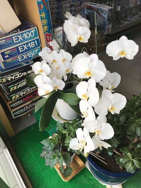 お客様よりいただいた5年目の胡蝶蘭の画像