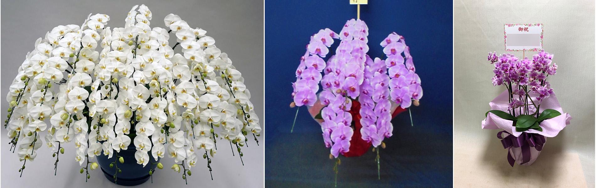 すぐ届く最高品質の胡蝶蘭。松庄花壇トップページスライドショー画像3