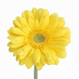 11月の誕生花イエローガーベラ