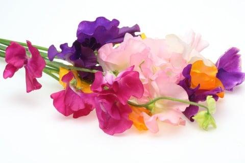 1月の誕生花はスイートピーです。色の種類が豊富です。