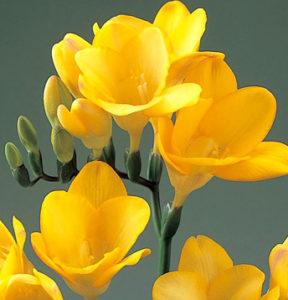3月の誕生花フリージアの画像。