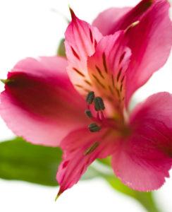 4月の誕生花、ピンクのアルストロメリア画像。