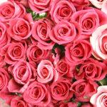 5月の誕生花ピンクバラ画像。