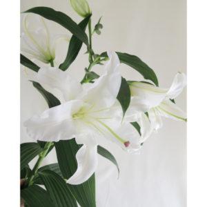 6月の誕生花白いユリの画像。