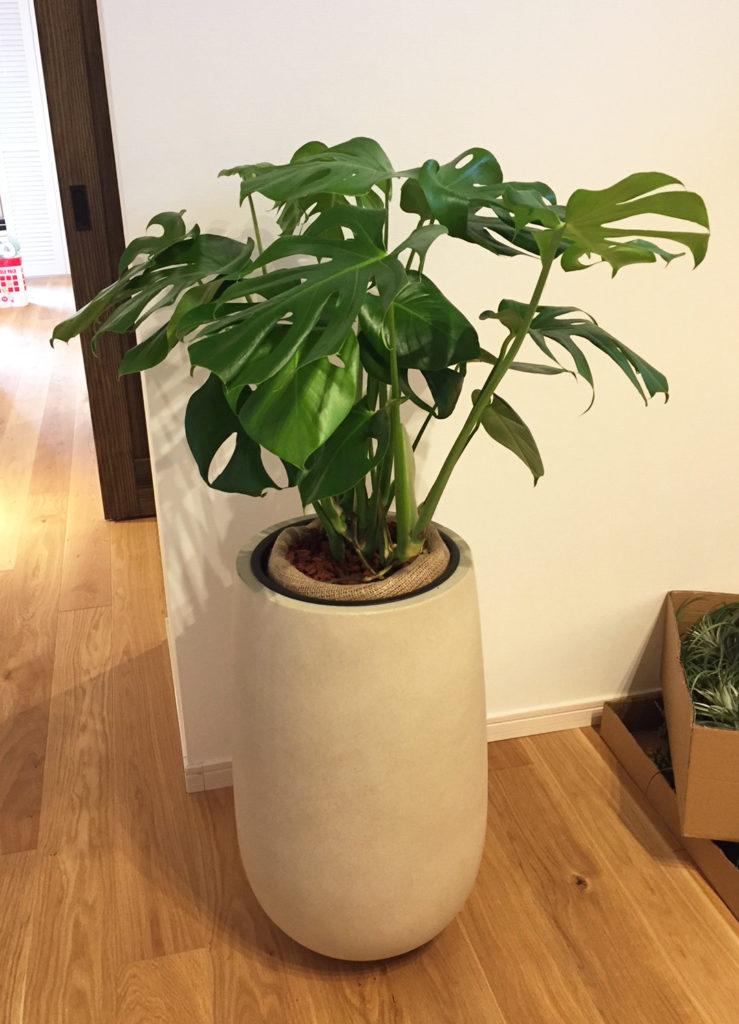 観葉植物モンステラの画像。鉢カバー付き。