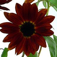 7月の誕生花ヒマワリ。クラレット。
