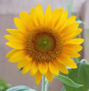 7月の誕生花ヒマワリ。クリアオレンジ。