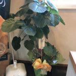 観葉植物ウンベラータ画像