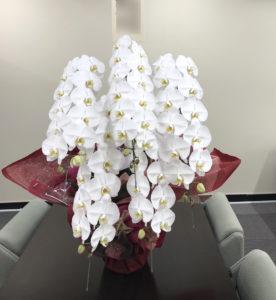 胡蝶蘭5本立画像